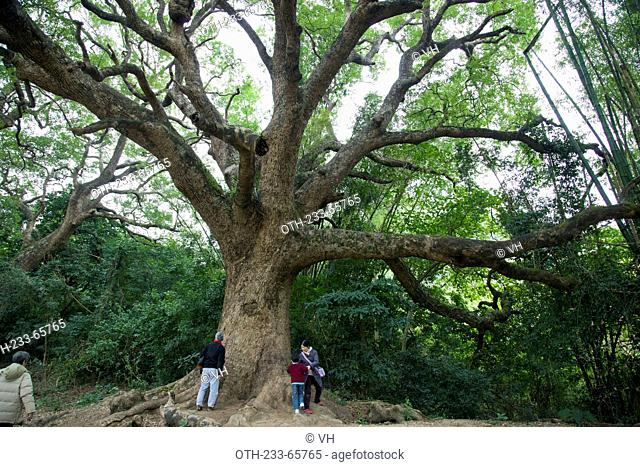 Giant camphor trees at the hillside, Fanling, New Territories, Hong Kong