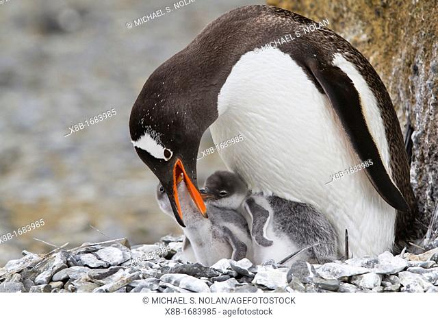 Adult gentoo penguin Pygoscelis papua feeding chicks at Brown Bluff near the Antarctic Peninsula, Southern Ocean