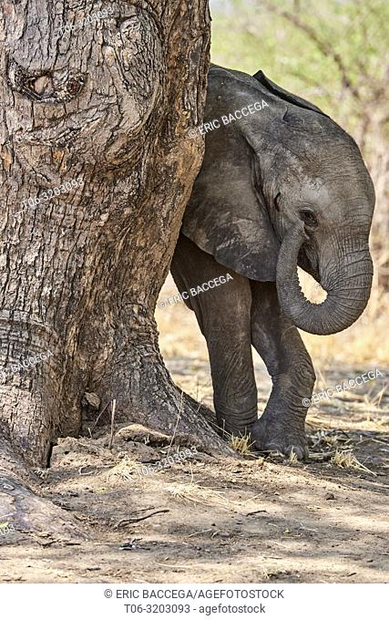 African elephant calf (Loxodonta africana) playing with its trunk, South Luangwa National Park, Zambia