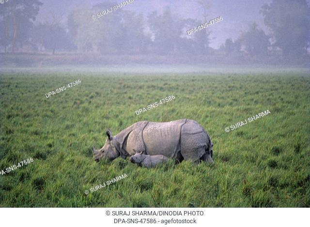 Rhinoceros One horned and calf (Rhinoceros unicornis) ; Kaziranga National park ; assam ; India