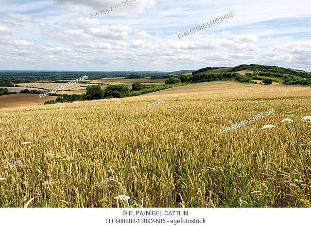 Rolling field of ripening winter wheat on a fine summer day, North Wessex Downs, Berkshire, July