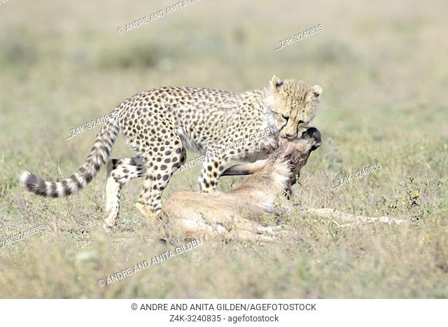 Cheetah (Acinonyx jubatus) cub killing a just by the mother hunted blue wildebeest (Connochaetes taurinus) calf, Ngorongoro conservation area, Tanzania