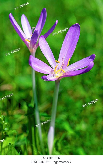 Meadow saffron, Naked lady, Autumn crocus (Colchicum autumnale), blooming, Germany, Bavaria, Oberbayern, Upper Bavaria, Murnauer Moos