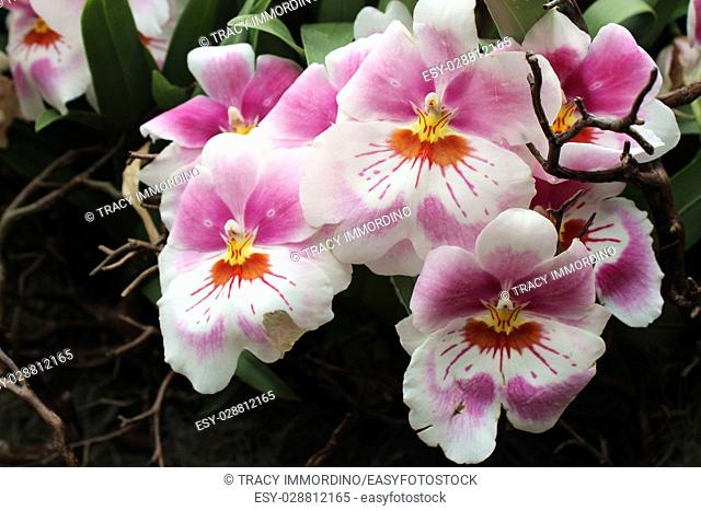 Close up of a cluster of pink, white, orange and yellow Miltoniopsis orchid flowers in full bloom