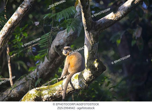 Capped Langur, Trachypithecus pileatus, Gibbon Wildlife Sanctuary, Assam, India