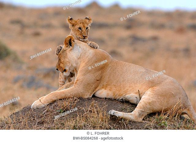lion (Panthera leo), juvenile playing with its mother, Kenya, Central, Masai Mara National Park, Narok