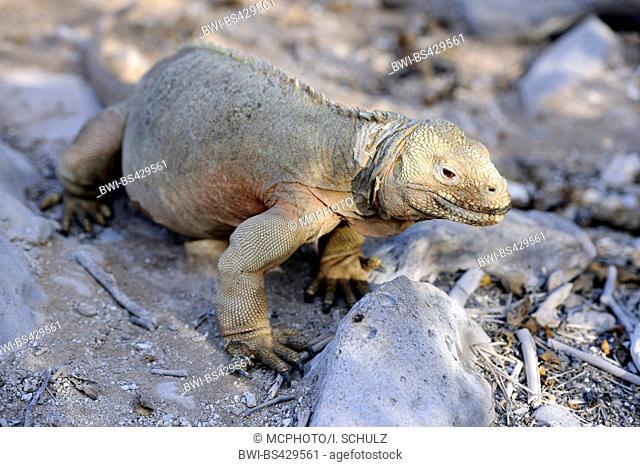 Galapagos land iguana (Conolophus subcristatus), sitting on the rock, Ecuador, Galapagos Islands, Plaza Sur