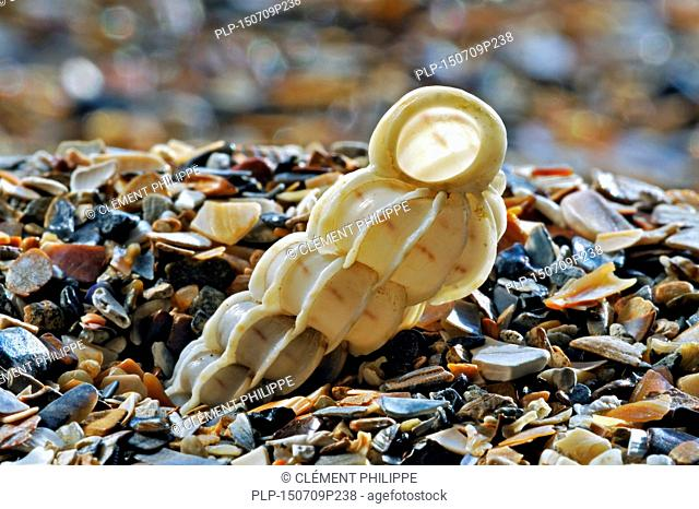 Common wentletrap (Epitonium clathrus) washed on beach