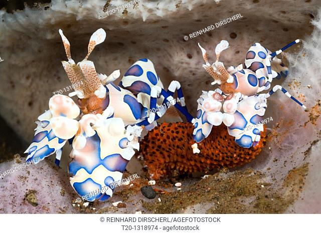 Pair of Harlequin Shrimps, Hymenocera elegans, Alam Batu, Bali, Indonesia