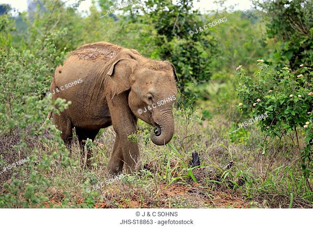 Sri Lankan Elephant, (Elephas maximus maximus), Asian Elephant, young feeding, Udawalawe Nationalpark, Sri Lanka, Asia