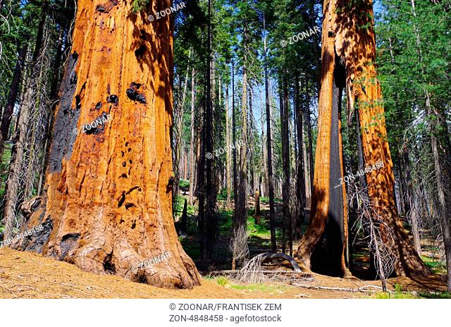 USA - Yosemite forest