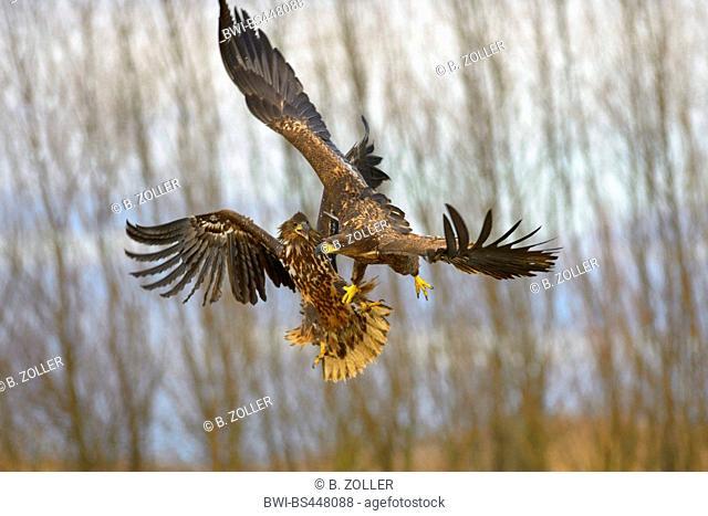 white-tailed sea eagle (Haliaeetus albicilla), young eagles at playful fight, Hungary, Kiskunsag National Park