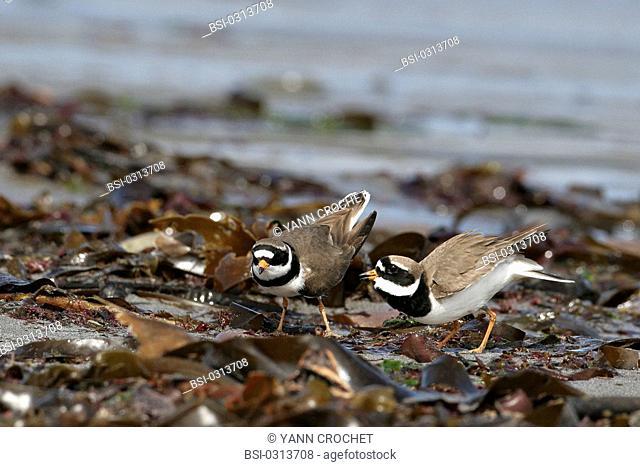 Common ringed plover Common ringed plover Charadrius hiaticula, Shetland Islands, Scotland. Charadrius hiaticula  Common ringed plover  Plover  Charadriidé...
