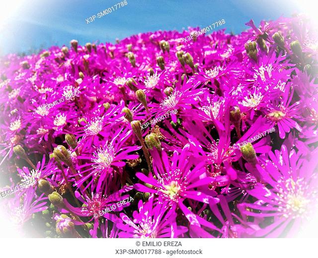 Messembryanthemum flowers