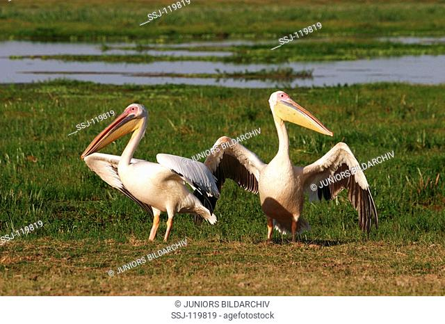 two white pelicans / Pelecanus onocrotalus