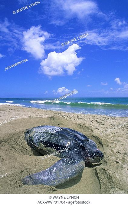 Female leatherback sea turtle Dermochelys coriacea digging a body pit in advance of laying her eggs, Trinidad