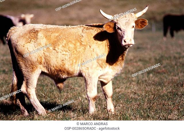 cattle oxen cows having pasture