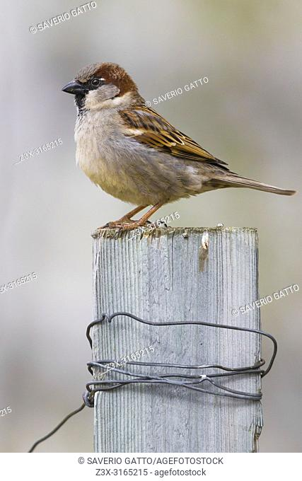 House Sparrow (Passer domesticus), adult male standing on a post