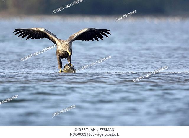 White-tailed Eagle (Haliaeetus albicilla) standing on his prey in shallow water, The Netherlands, Overijssel, Kampen, Ketelmeer