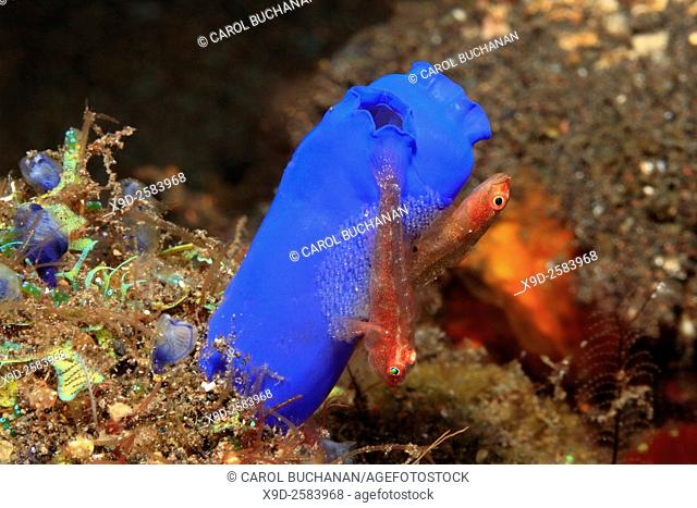 A pair of Many Host, or Ghost or Toothy Gobies, Pleurosicya mossambica, guarding their eggs laid on an ascidian, or tunicate, Rhopalaea sp