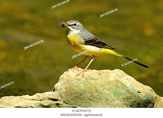 grey wagtail (Motacilla cinerea), female sitting on a stone with an insect in its beak, Germany, Baden-Wuerttemberg