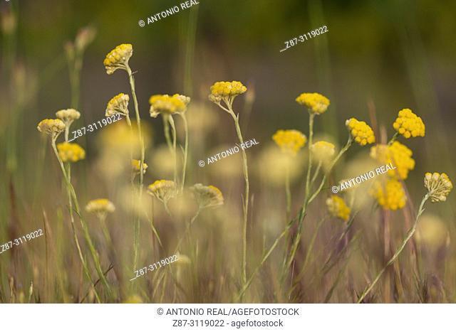 Siempreviva olorosa (Helichrysum italicum L.). Almansa. Albacete. Spain