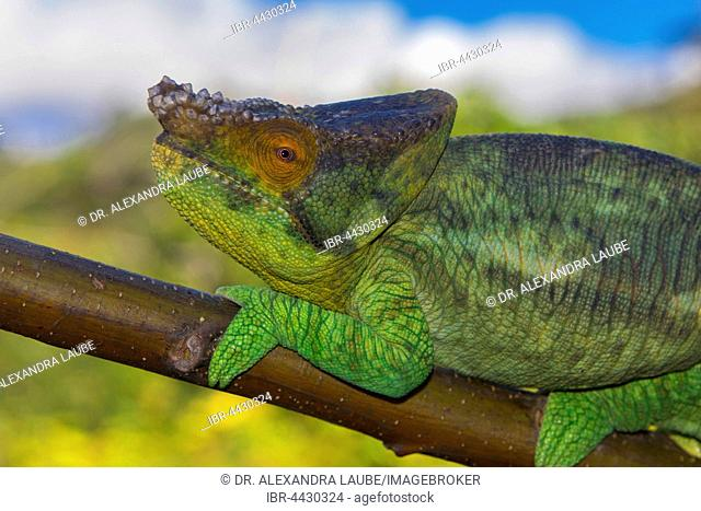 Parson's chameleon (Calumma parsonii parsonii) on branch, young male, colour variant yellow giant, Vohimana, Eastern Madagascar, Madagascar