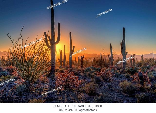 The sun sets amongst the cactus at Saguaro National Park, Arizona. U.S.A