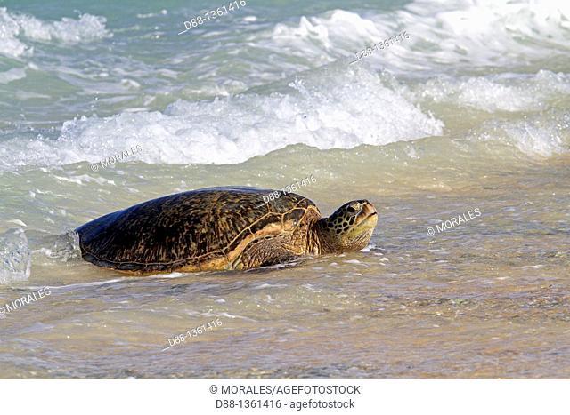 Green Turtle (Chelonia mydas) resting on the beach, Midway Atoll National Wildlife Refuge, Sand Island, Hawaii, USA
