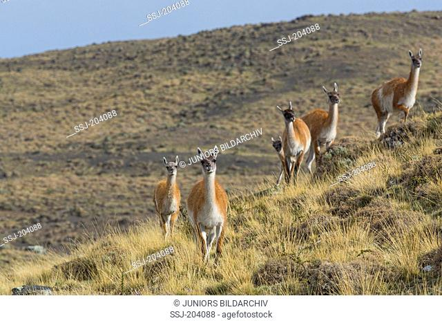 Guanaco (Lama guanicoe) . Group at Torres del Paine National Park, Chile