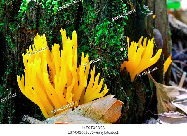 Calocera viscosa or Yellow Stagshorn mushrooms in natural habitat, on the forest soil and rotten stump, close up view