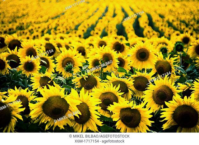 Sunflower  Helianthus annuus field and overcast sky  Pancorbo, Burgos, Castile and leon, Spain