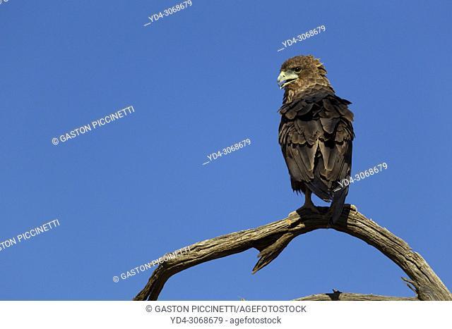 Bateleur (Terathopius ecaudatus) - Inmature, Kgalagadi Transfrontier Park, Kalahari desert, South Africa/Botswana.