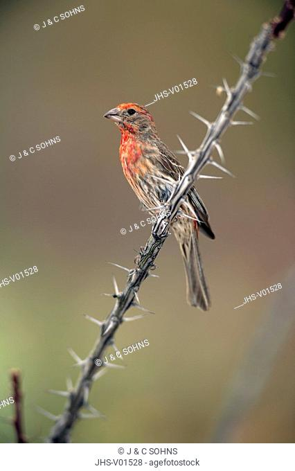 House Finch,Carpodacus mexicanus,Sonora Desert,Arizona,USA,adult male on ocotillo
