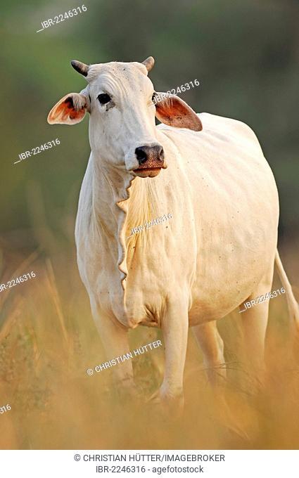 Zebu cattle (Bos primigenius indicus), Rajasthan, India, Asia