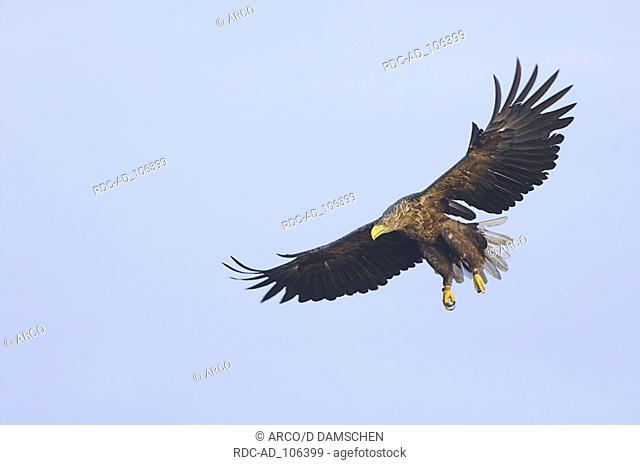 White-tailed Eagle biosphere preserve Elbe Lower Saxony Germany Haliaeetus albicilla