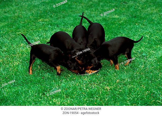 Manchester Terrier, puppies, 6 weeks old, eating  /  Manchester-Terrier, Welpen, 6 Wochen alt, fressend  /  [Saeugetiere, mammals, animals, Haushund