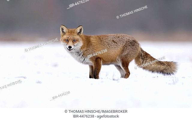 Red fox (Vulpes vulpes), in winter, winter coat, snow, Middle Elbe Biosphere Reserve, Saxony-Anhalt, Germany