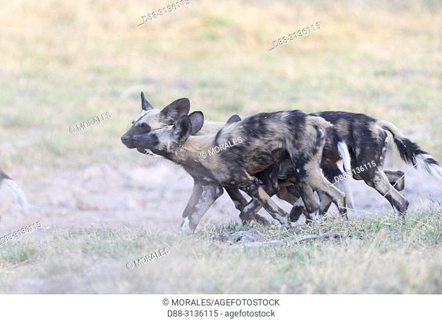 Africa, Southern Africa, Bostwana, Moremi National Park, African wild dog or African hunting dog or African painted dog (Lycaon pictus)