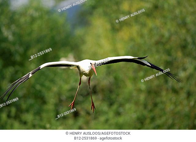 White Stork (Ciconia ciconia) in flight