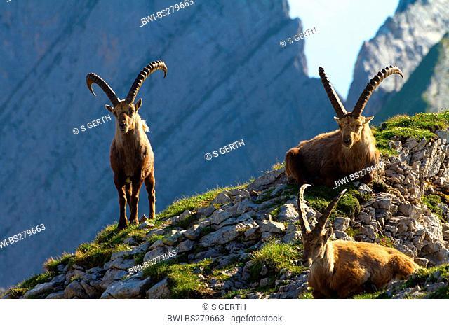 alpine ibex Capra ibex, alpine ibexes on crest in front of rock wall, Switzerland, Alpstein, Altmann