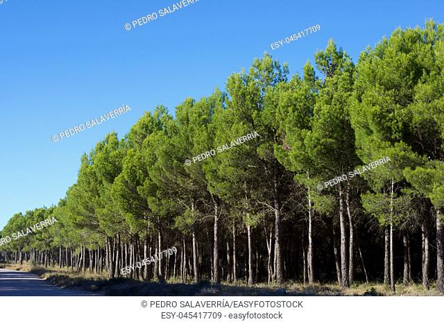 Pine forest in Zaragoza Province, Aragon in Spain