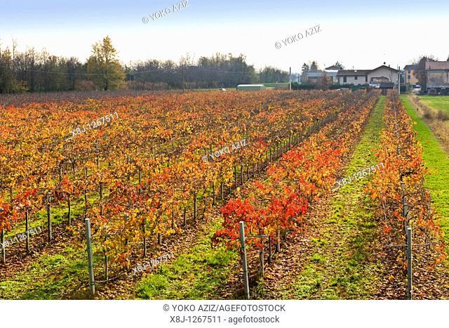 Lambrusco vineyards, Modena province