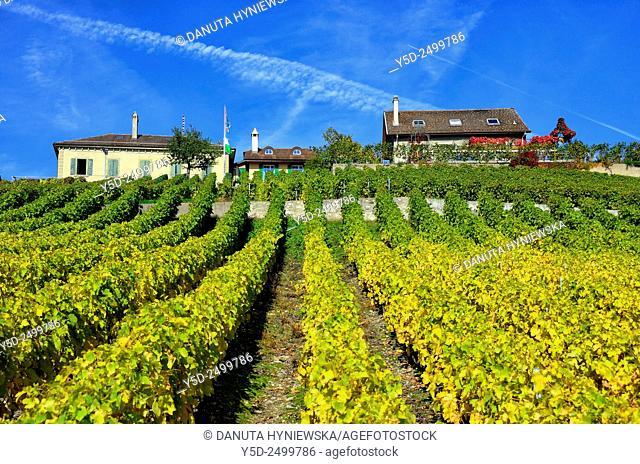 Europe, Switzerland, Canton Vaud, La Côte, Morges district, Féchy vineyards, autumn time