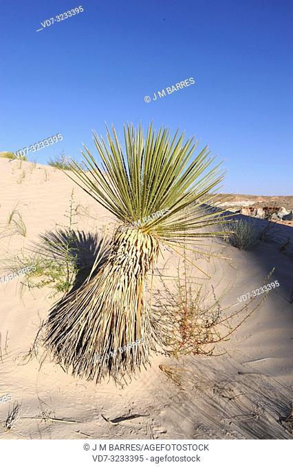 Utah yucca (Yucca utahensis) is an evergreen plant native to Utah, Arizona and Nevada. This photo was taken in Arizona, USA