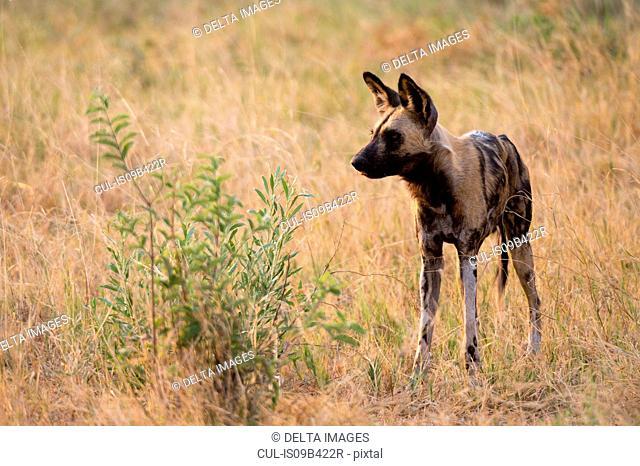 African wild dog (Lycaon pictus) in grassland, Savuti marsh, Chobe National Park, Botswana