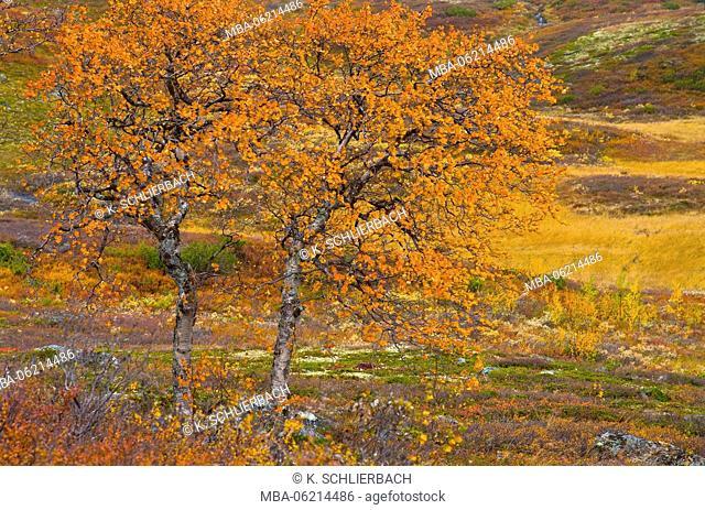 Norway, Oppland, Böverkinnhalsen, Jotunheimen National Park, autumn colorful Fjellbirken