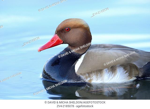 Close-up of a Red-crested Pochard (Netta rufina) swimming in the water in spring