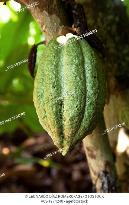 Cacao, or Cocoa fruits at San Rafael, Veracruz, Mexico