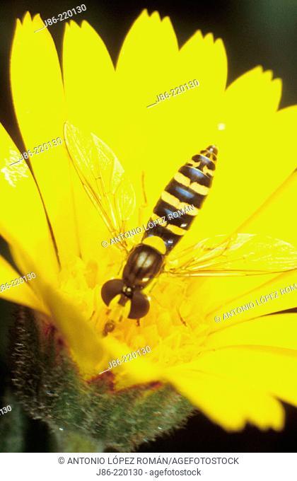 Fly (fam. Syrphidae) on wildflower (Calendula arvensis)